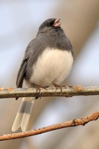 ©2009 NCL Magazine : Photo By Paul Purpura : A Junco greets the first day of Spring at Wintergreen in the Black Rock Village.