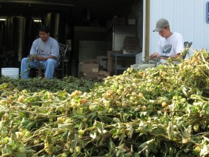 Folks at Blue Mountain separate the hops.