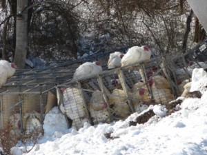 Turkeys in their cages along Route 151 and other sit on top while crews worked to clear the highway.