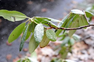 Photo By Paul Purpura : A ligth dusting of snow covers these leaves Friday afternoon near The Mountain Inn at Wintergreen Resort.