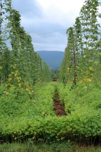Photo By Paul Purpura : ©2010 www.nelsoncountylife.com : Hops trellis their way up at Blue Mountain Brewery on Route 151 in Afton.