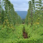Hops At Blue Mountain Brewery : 7.11.10