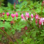 Bleeding Hearts Just In Time For Valentine's Day - sort of :-)