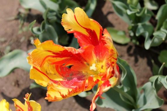 kashmir flowers