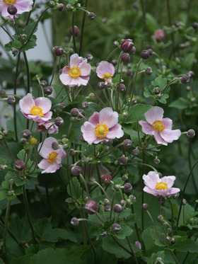 Soft pink single. Very adaptable. Hardiest of the Anemones