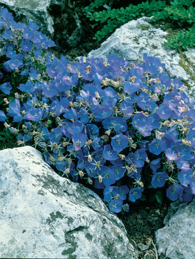 Carpets of blue. Spreads nicely if soil is cool and well drained