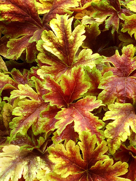 Bold foliage of bright yellow marked with dark red
