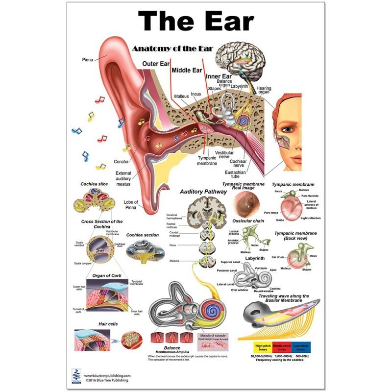 Ear Regular Poster
