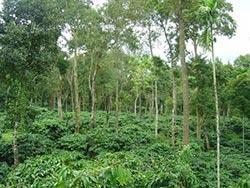 coffeeplants