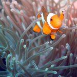 clown fish koh phi phi scuba diving