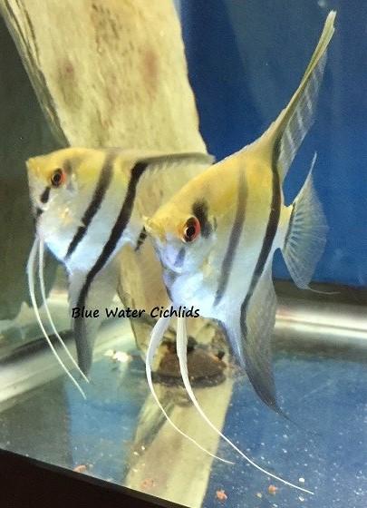 Silver Zebra Angelfish Pterophyllum Scalare Blue Water Cichlids