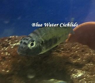 Blue Water Cichlids – Blue Water Cichlids