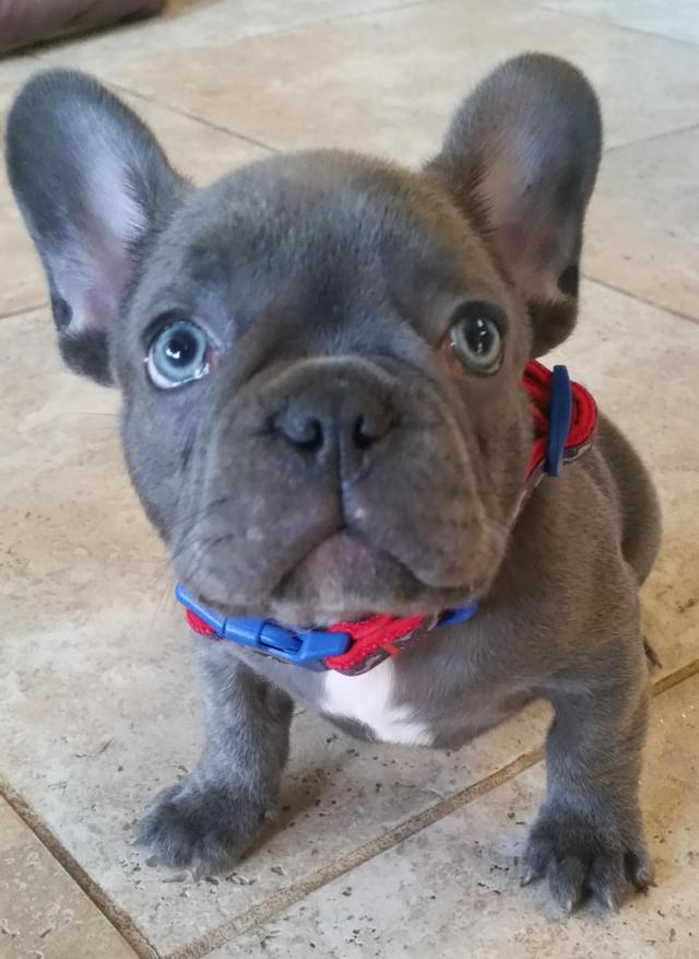 blue wave french bulldogs, french bulldog puppies