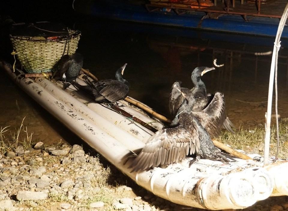 Bamboo fishing boat and cormorants