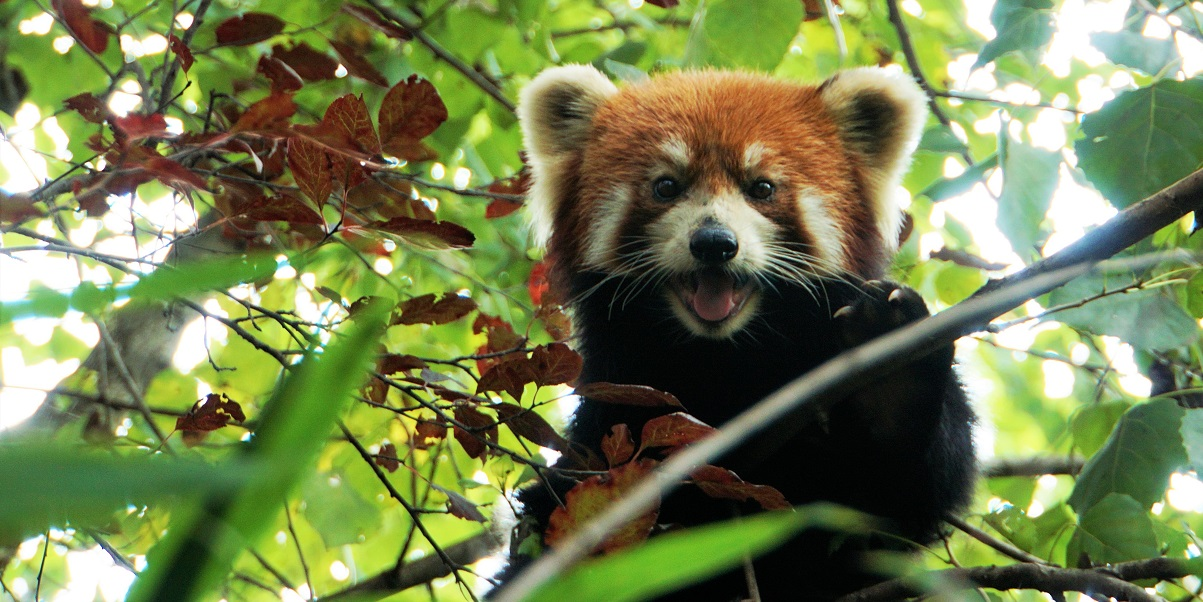 Red panda climbs a tree