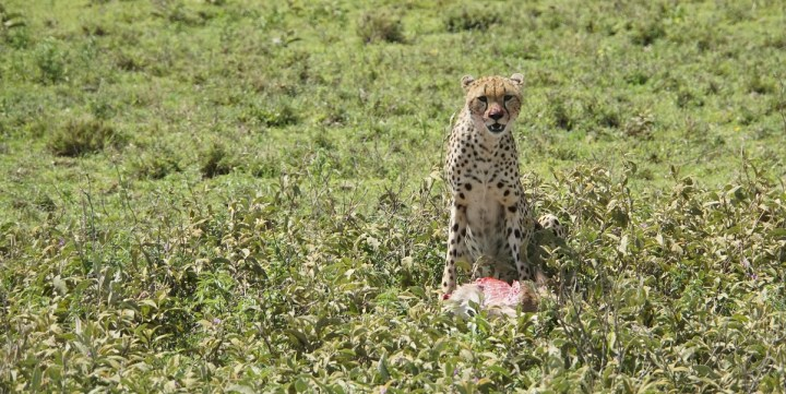 A cheetah eats a baby wildebeest for breakfast