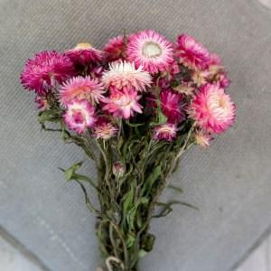 strohblumen rosa