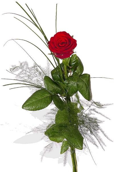 Rote Rose 1 lange rote Rose Hab Dich lieb p204