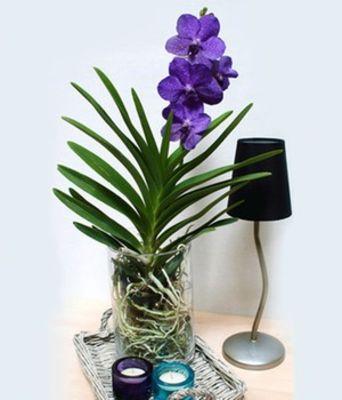 Blaue ZimmerOrchidee von BALDURGarten auf Blumende kaufen
