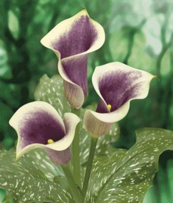 Calla Picasso von BALDURGarten auf Blumende kaufen