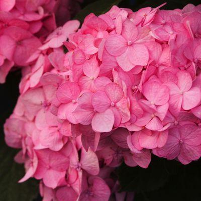 Hortensie Annabell Rosa hortensja drzewiasta pink