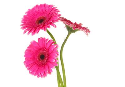 Gerbera gnstig kaufen und verschicken auf Blumende