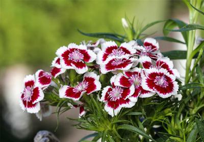 Nelken gnstig kaufen und verschicken auf Blumende