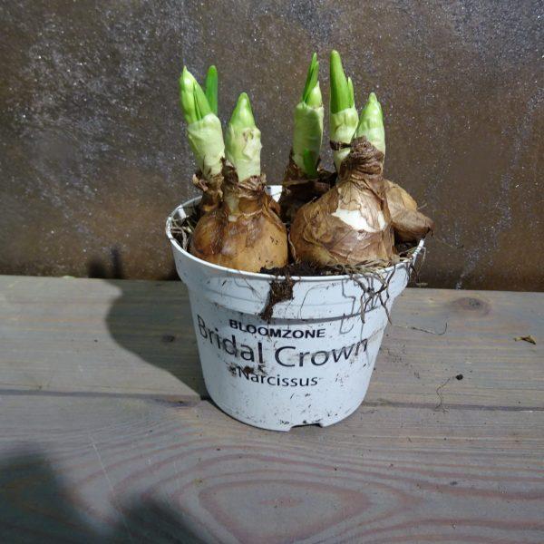 """Narcisse """"Bridal Crown"""""""