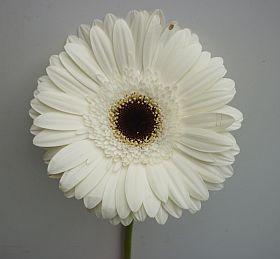 Blumengrohandel Ritzka plus Gerbera