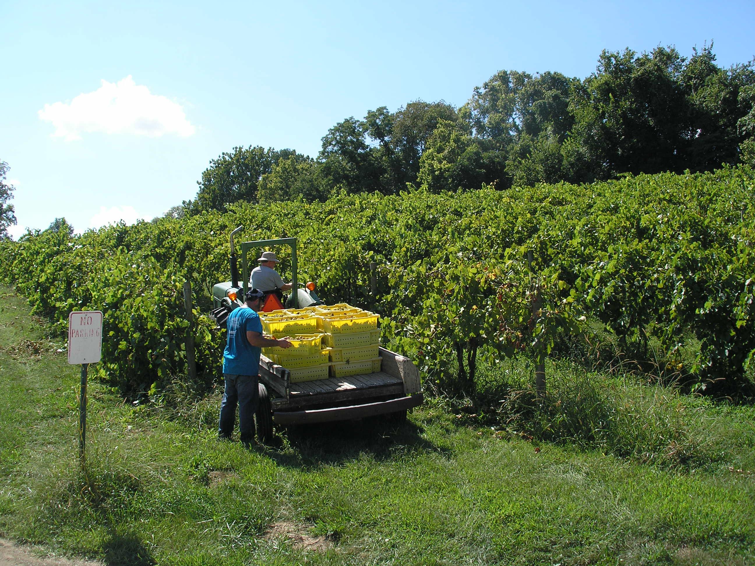 Picking Vignoles