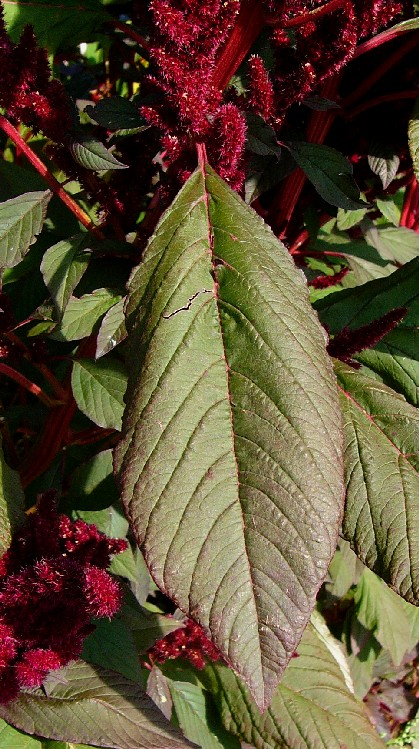 Amaranthus rot