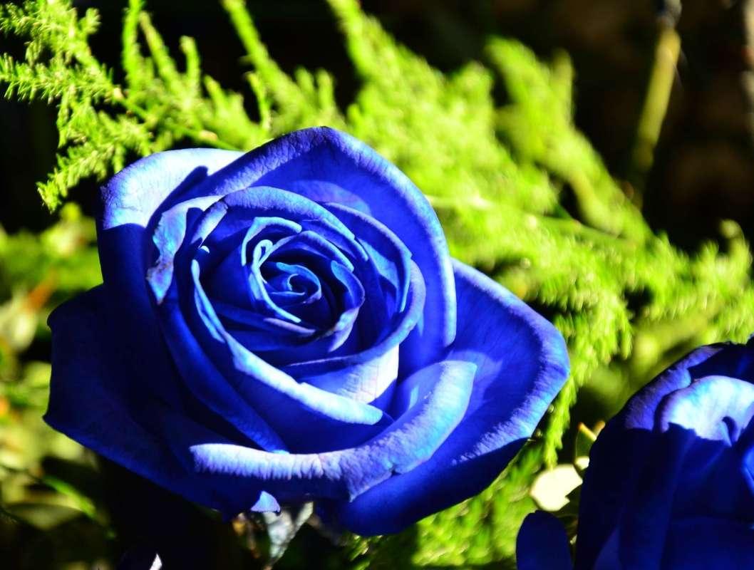 Blaue Rosen Bedeutung die rosenfarbe bedeutung beherrschen sie die blumensprache blaue rosen