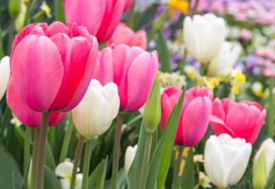 Blumenfotos Tulpen