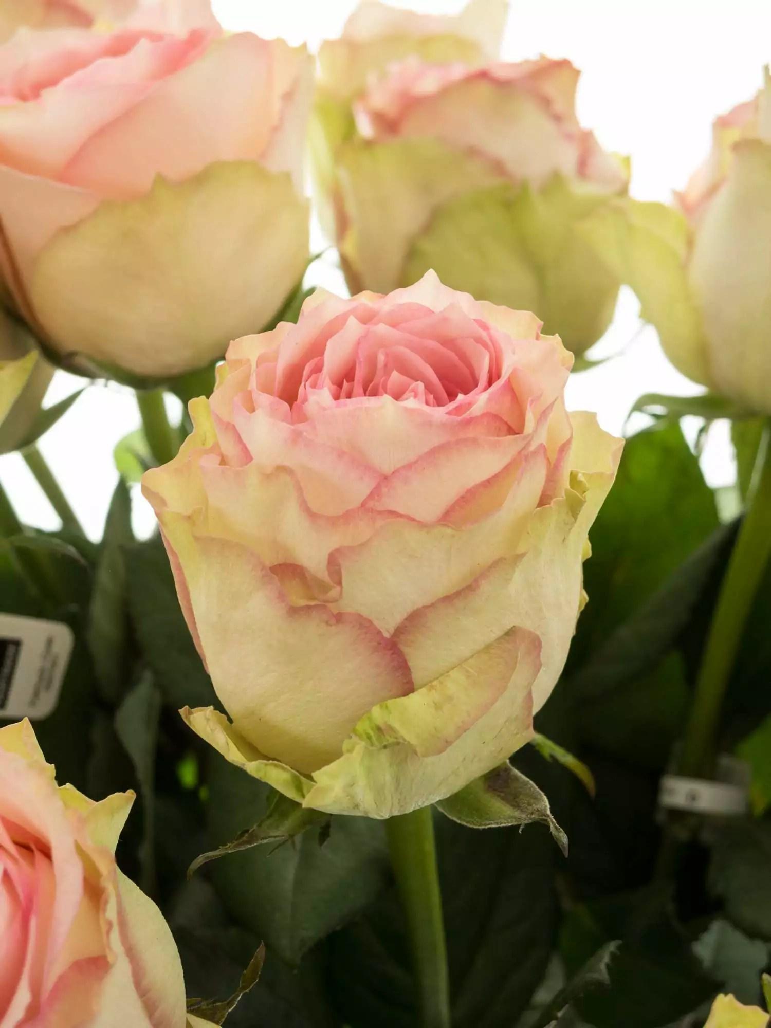 Rosen Esperance rosacreme bestellen  Blumigo