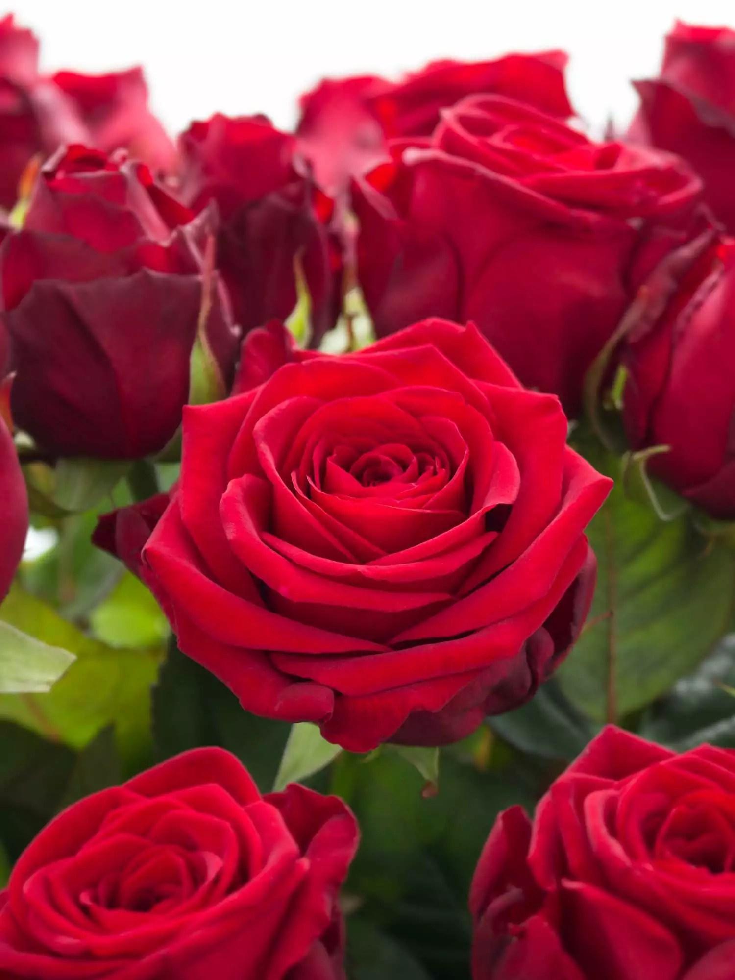 Rosen Red Naomi rot bestellen  Blumigo