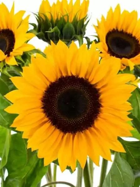 Sonnenblumen Sunrich Orange  lang bestellen  Blumigo
