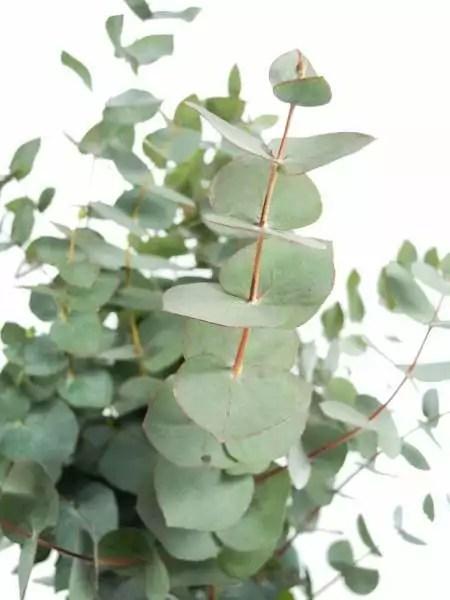 Eukalyptus Cineara silbergrn bestellen  Blumigo