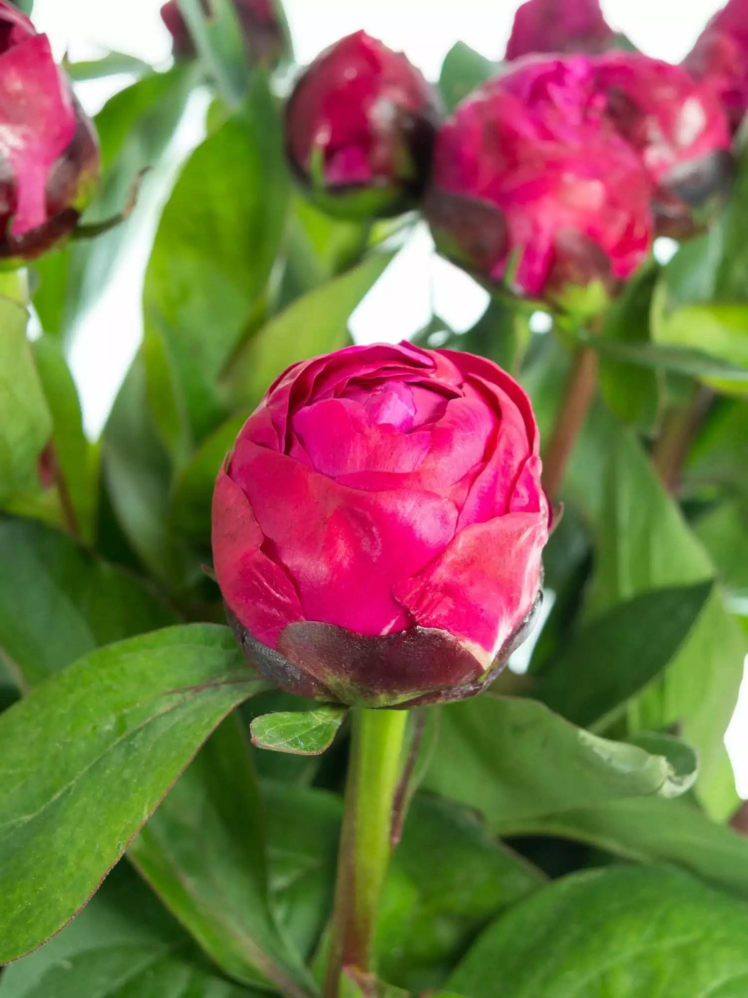 Pfingstrosen Red Sarah Bernhardt pink bestellen  Blumigo