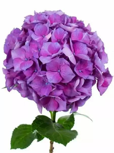Hortensie Magical Esmee Paars lila bestellen  Blumigo