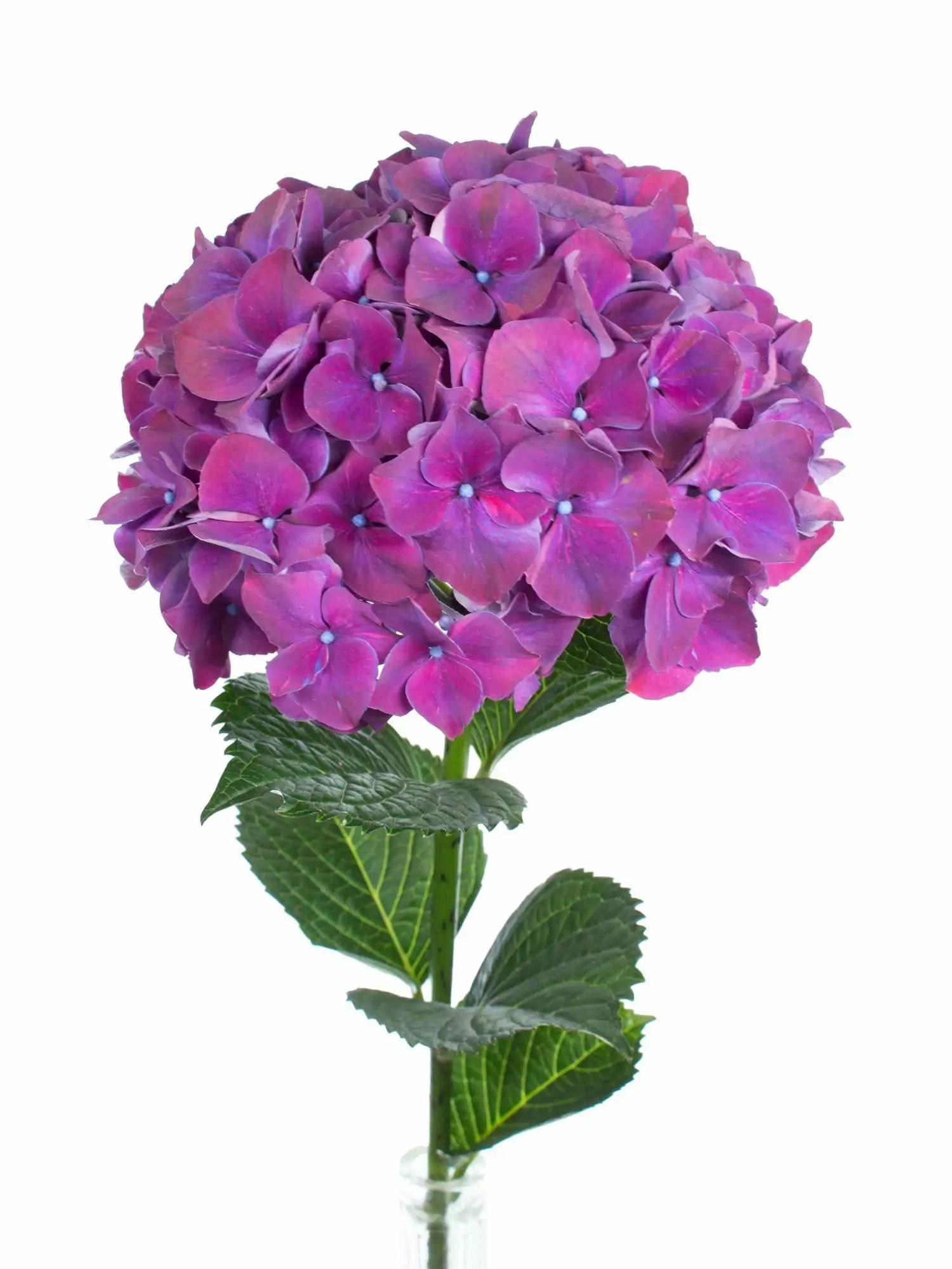 Hortensie Magical Rubyred auberginelila bestellen Blumigo
