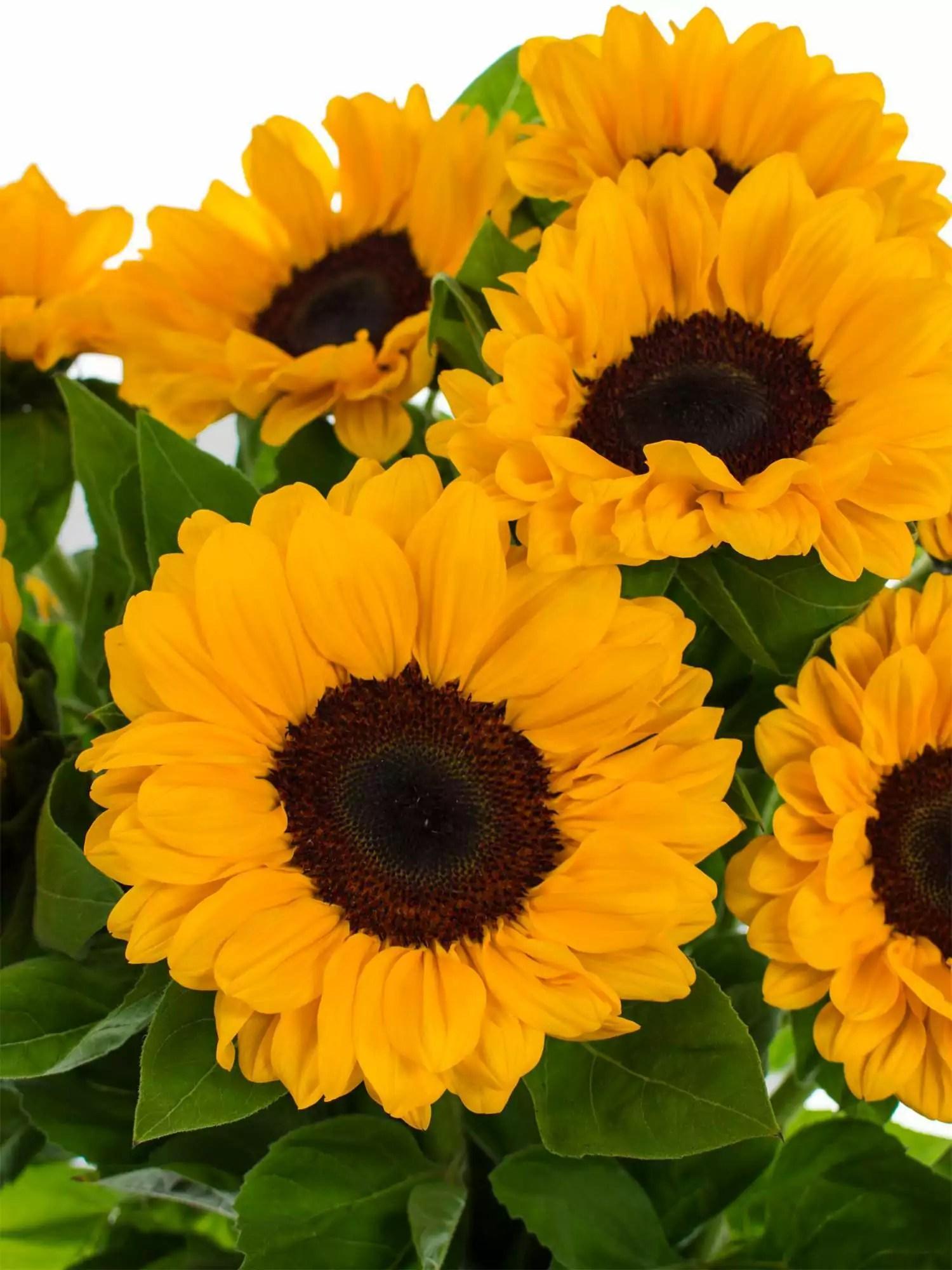 Sonnenblumen Vincents Choice bestellen  Blumigo