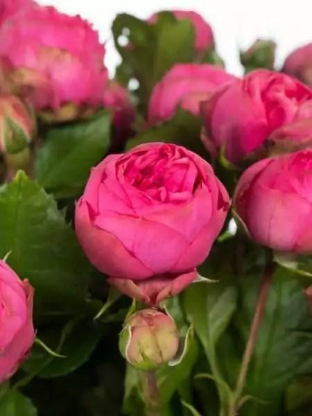 Rosen freiland Pink Piano pink bestellen  Blumigo