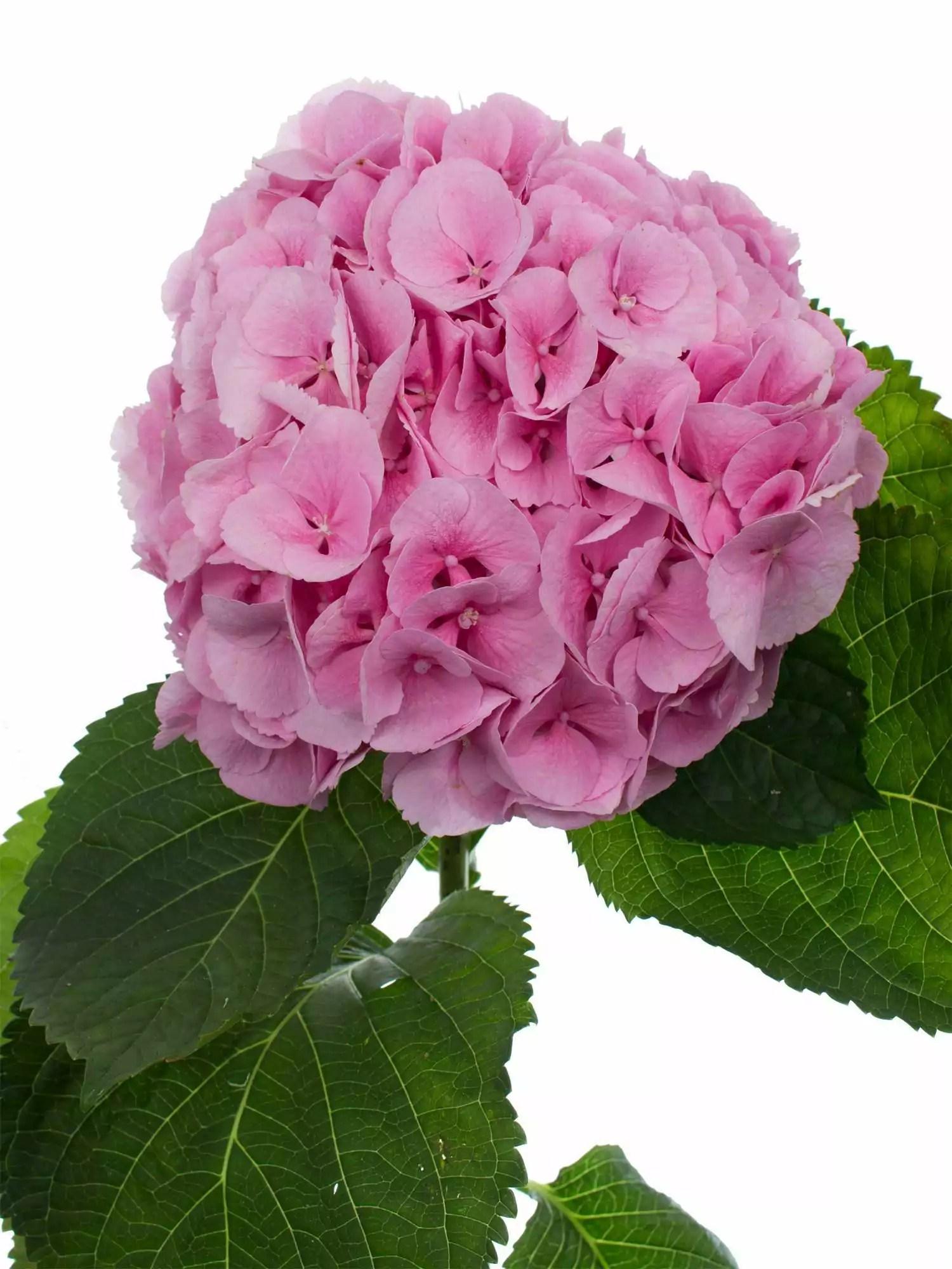 Hortensie Mammoet rosa  pink bestellen  Blumigo