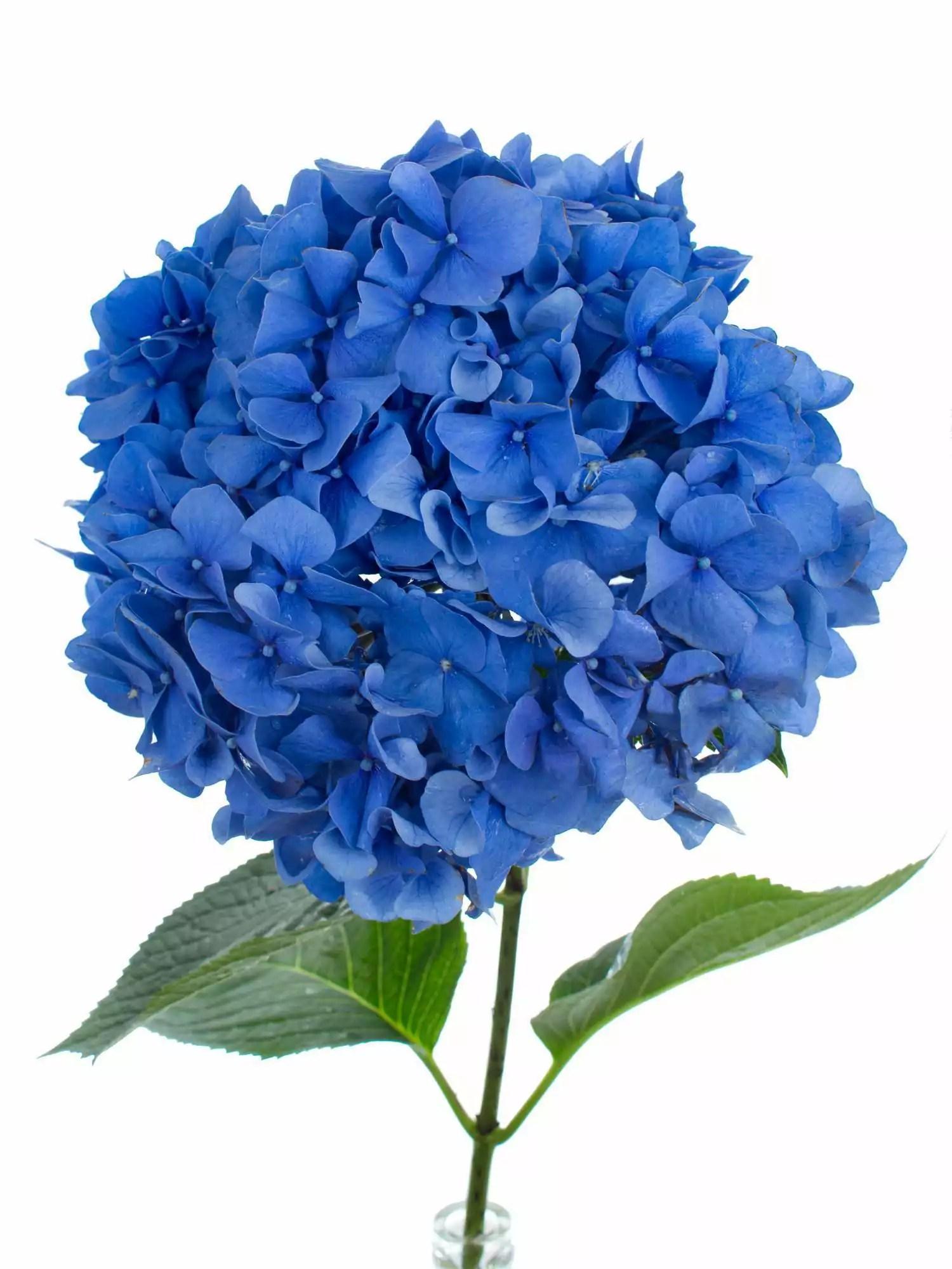 Hortensien Preis Schnittblume