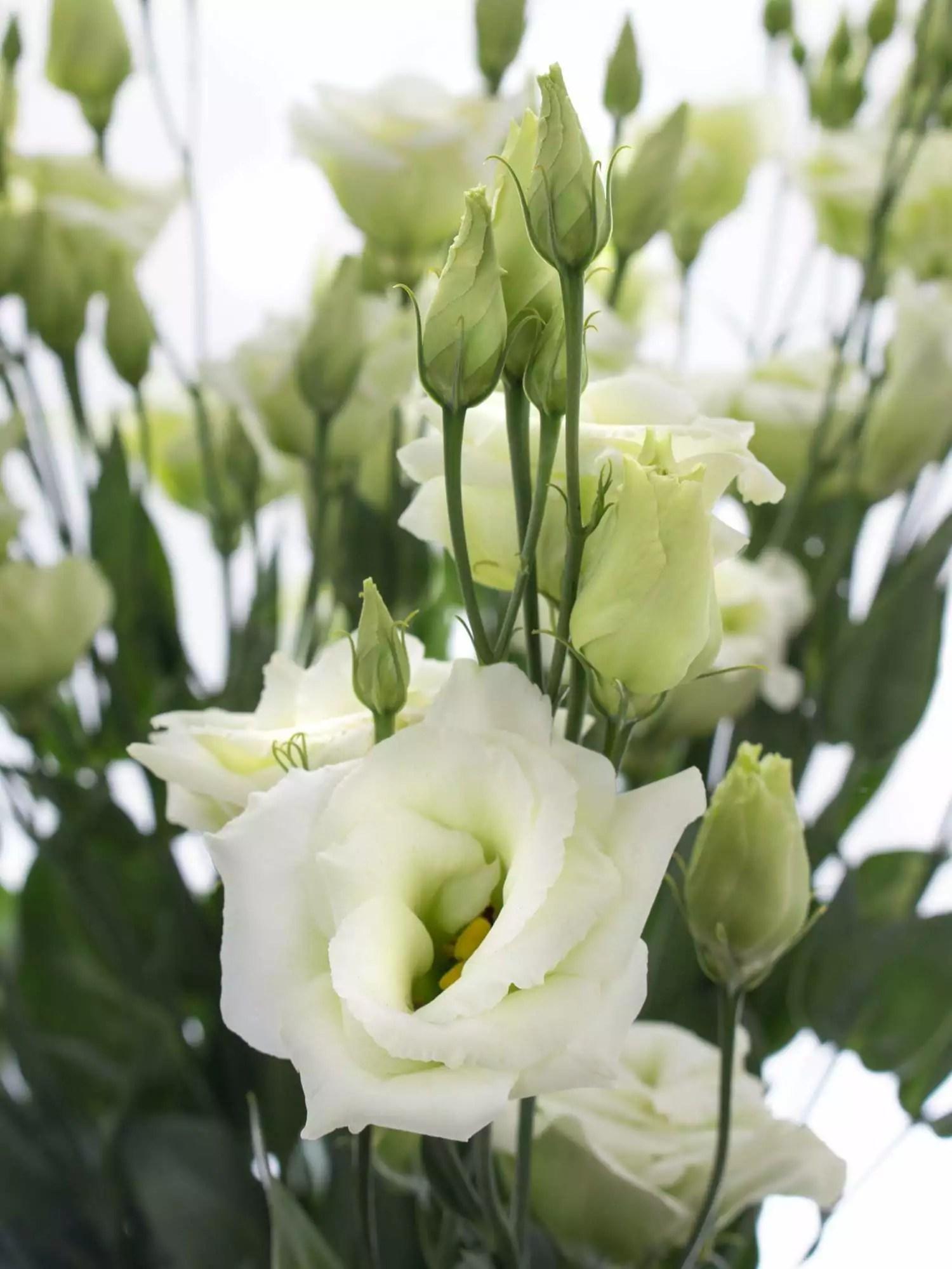 Lisianthus  Eustoma Rosita Green grn bestellen  Blumigo