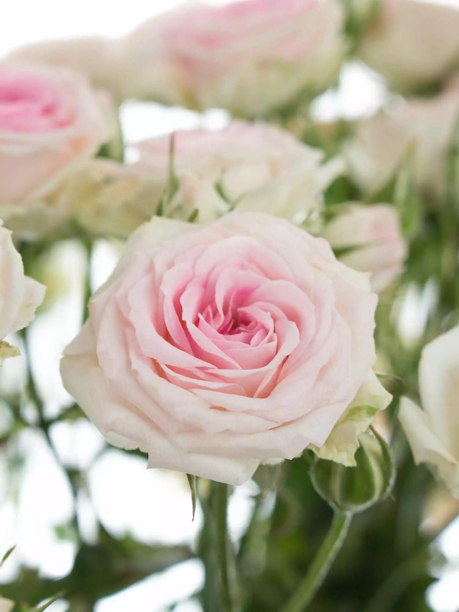 Rosen verzweigt Mimi Eden rosa  wei bestellen  Blumigo