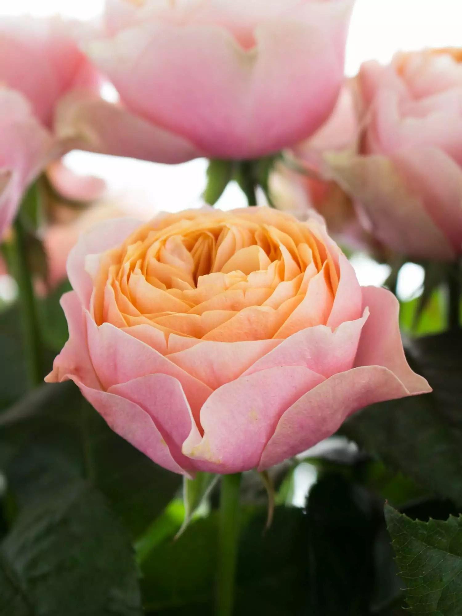 Rosen Vuvuzela rosa  apricot bestellen  Blumigo