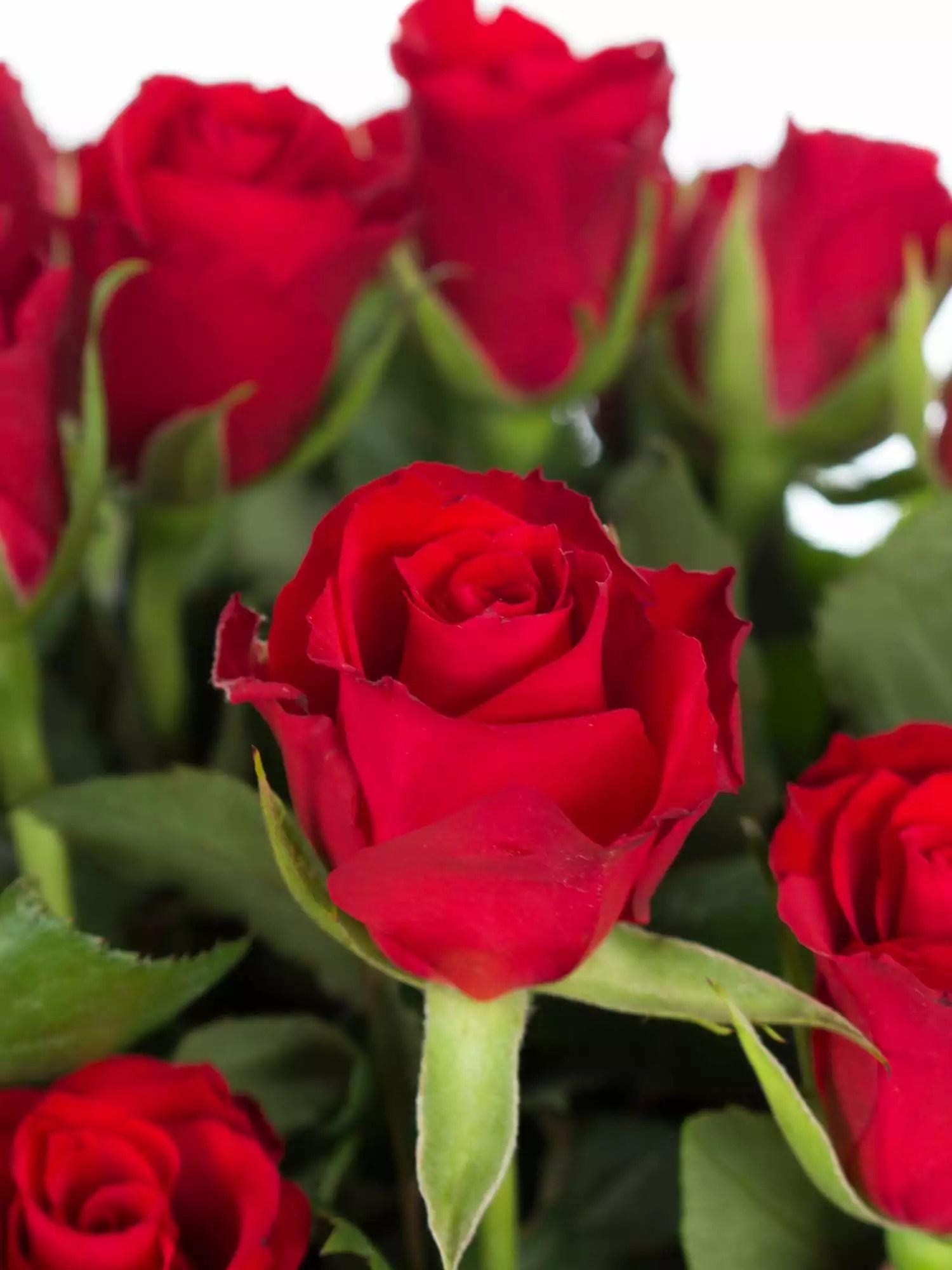 100 Rote Rosen Mini  Valentinsangebot bestellen  Blumigo