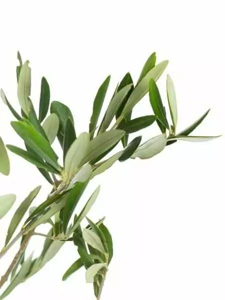 Olivenzweige bestellen  Blumigo