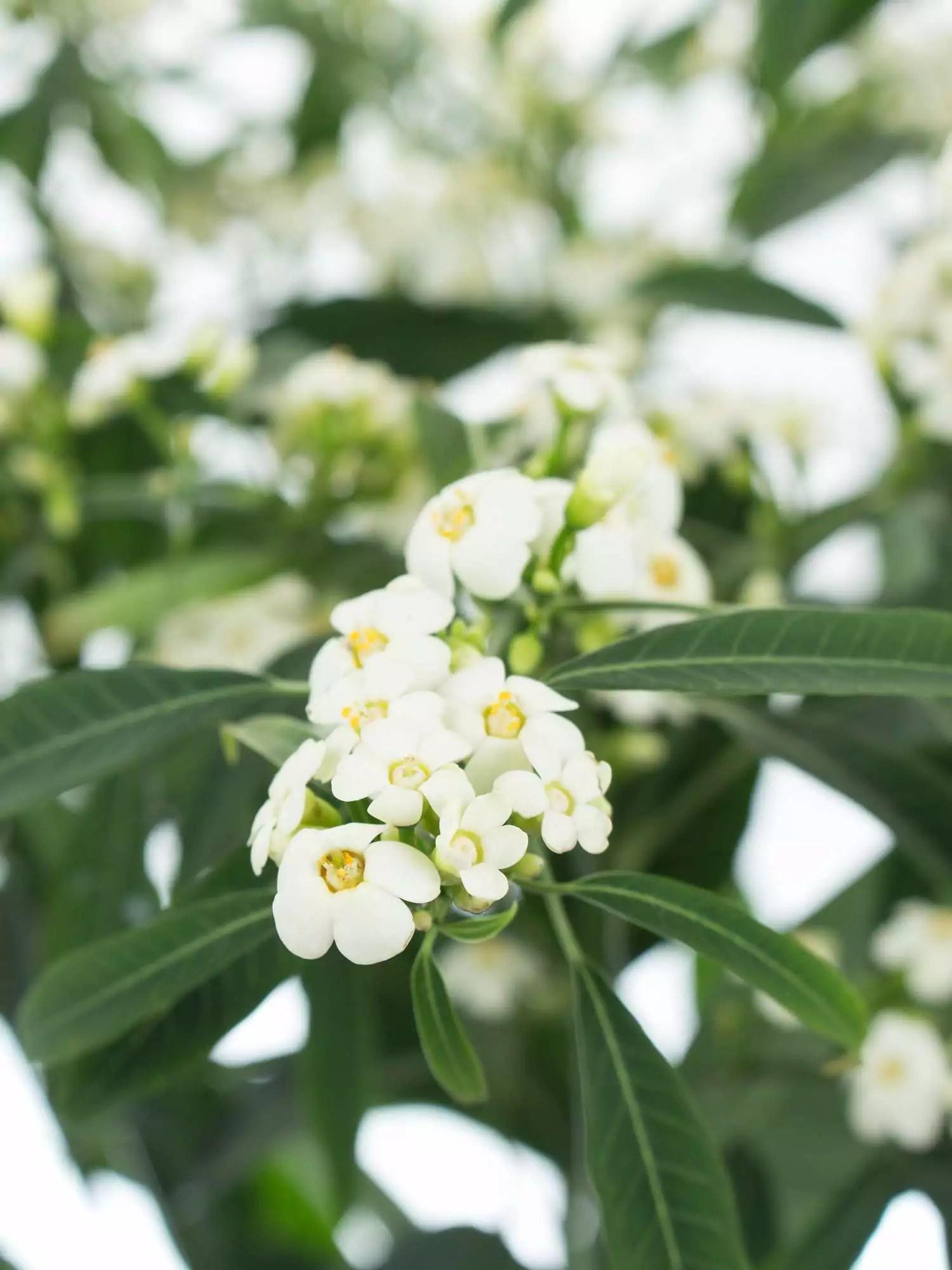 Wolfsmilch  Euphorbia Fulgens Quicksilver wei